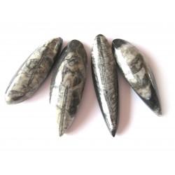 Orthoceras 3-6 cm