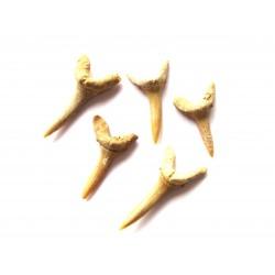Haifischzahn fossil