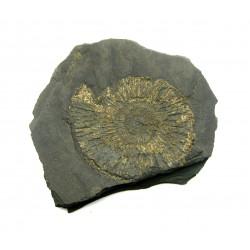 Ammonit in Schiefer 10 cm